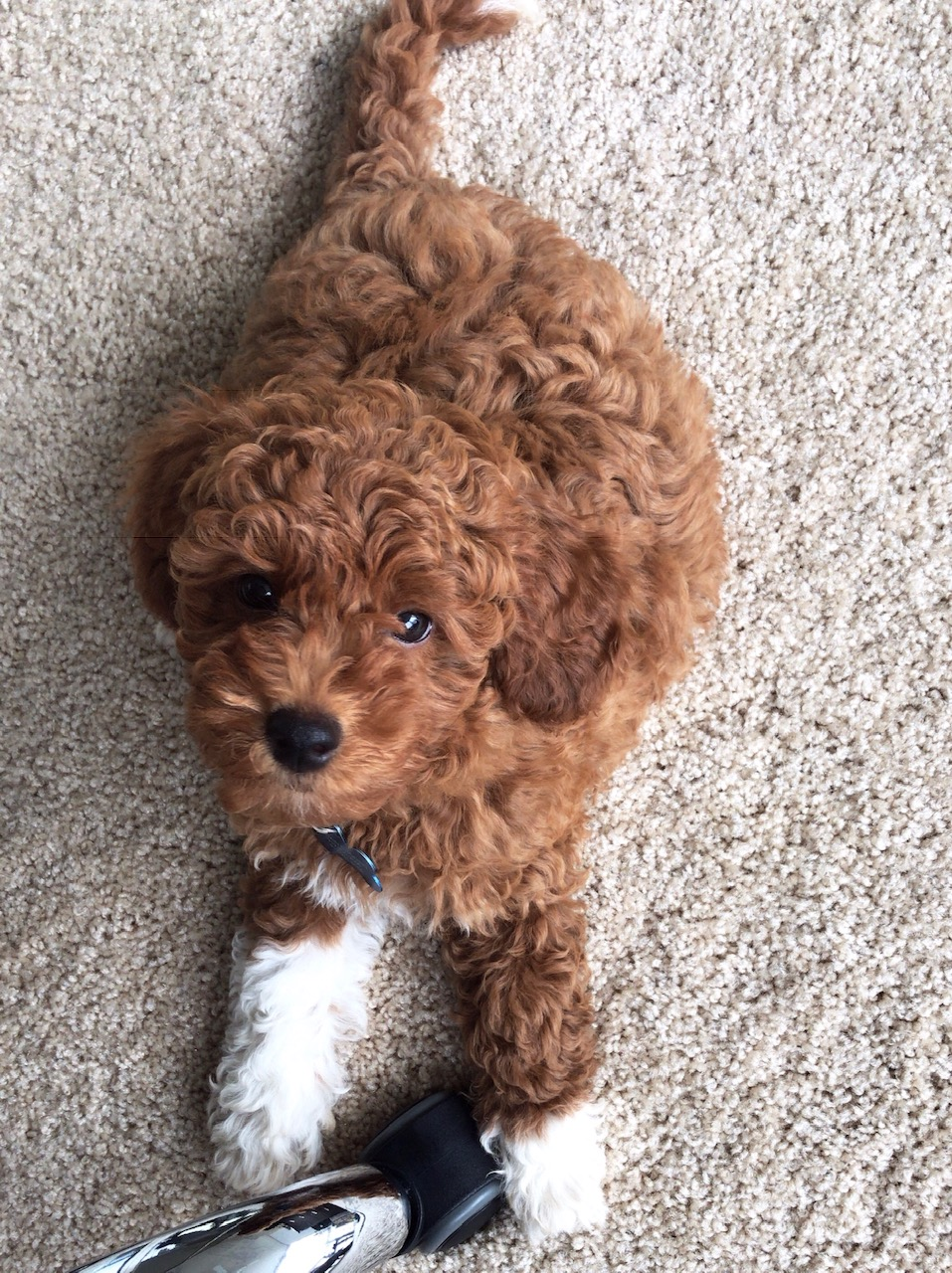Cavapoo puppy in office