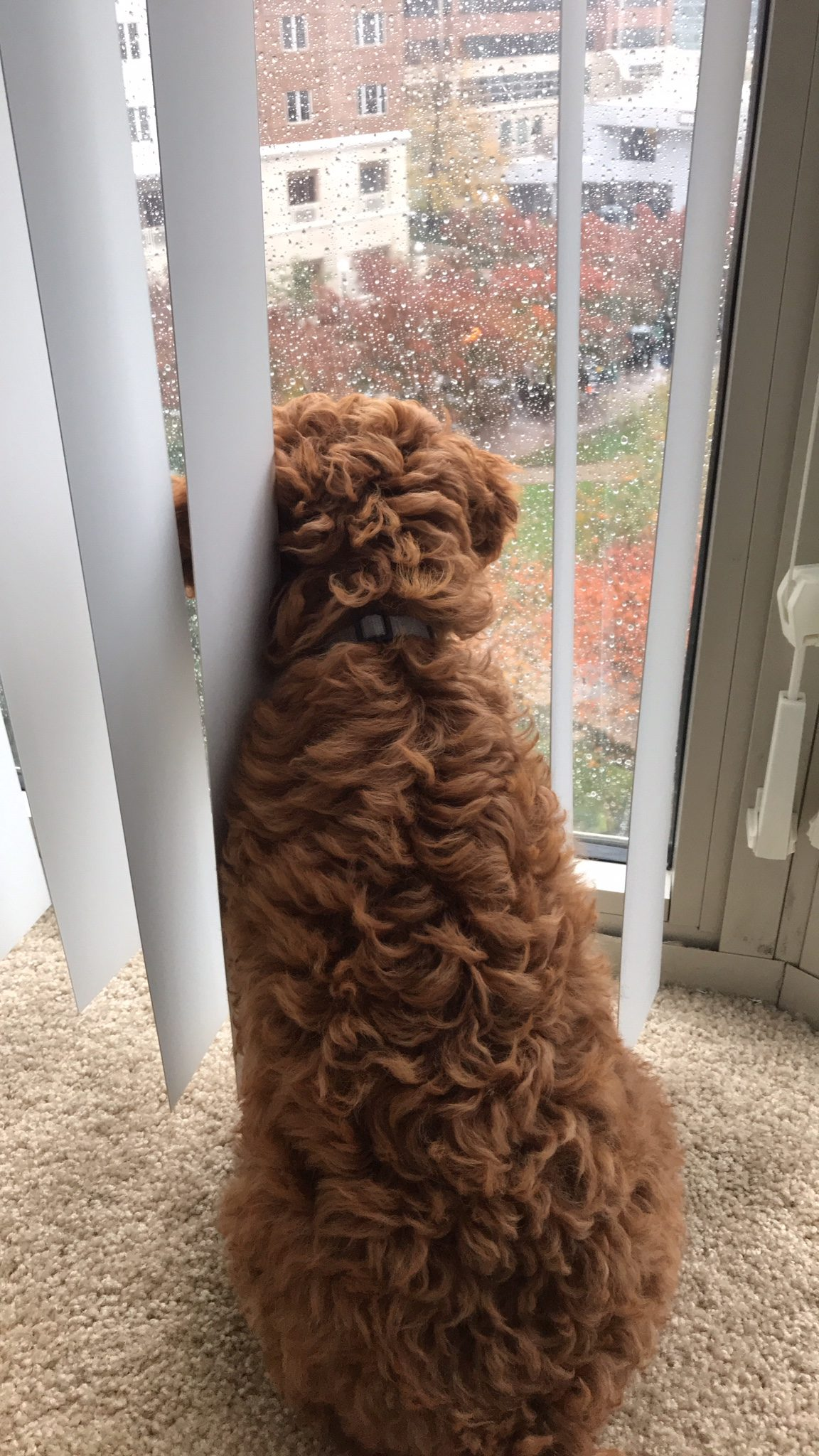 Cavapoo Puppy looking out window